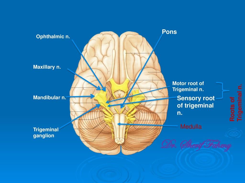 Pons Trigeminal ganglion Mandibular n. Maxillar...