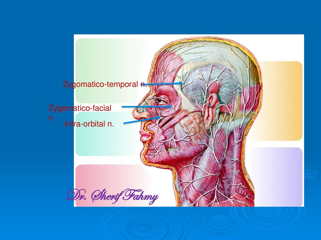 Zygomatico-temporal n. Zygomatico-facial n. Inf...