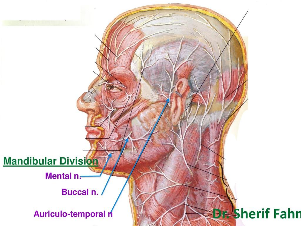 Mandibular Division Mental n. Buccal n. Auricul...