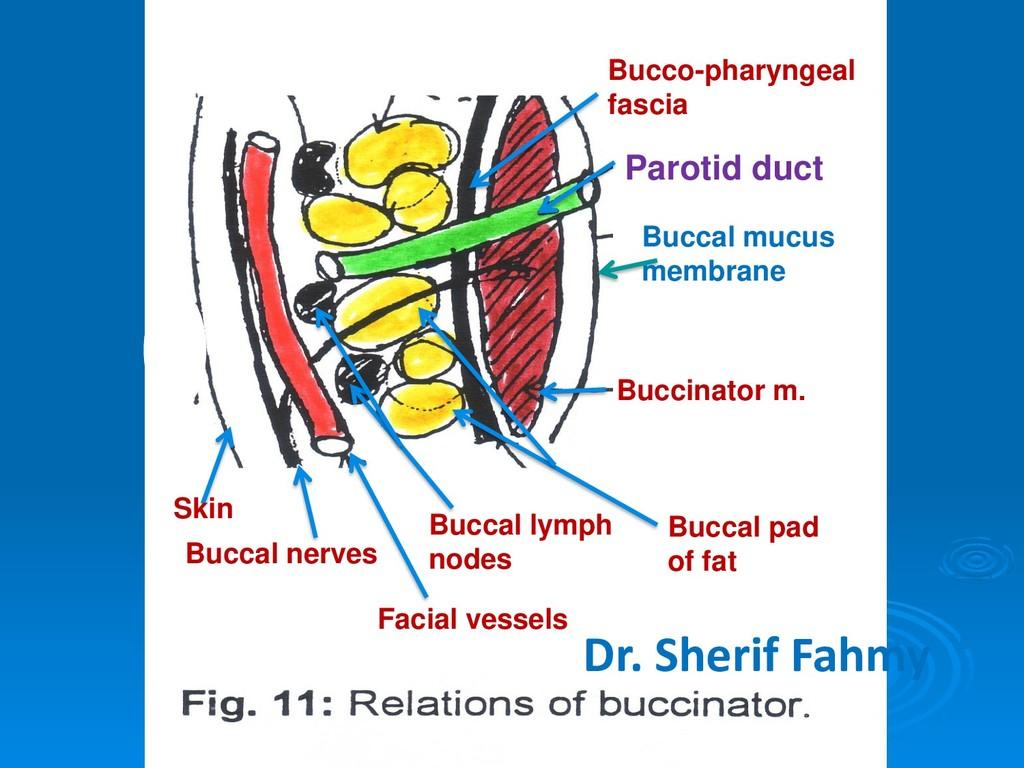 Skin Buccinator m. Buccal nerves Facial vessels...
