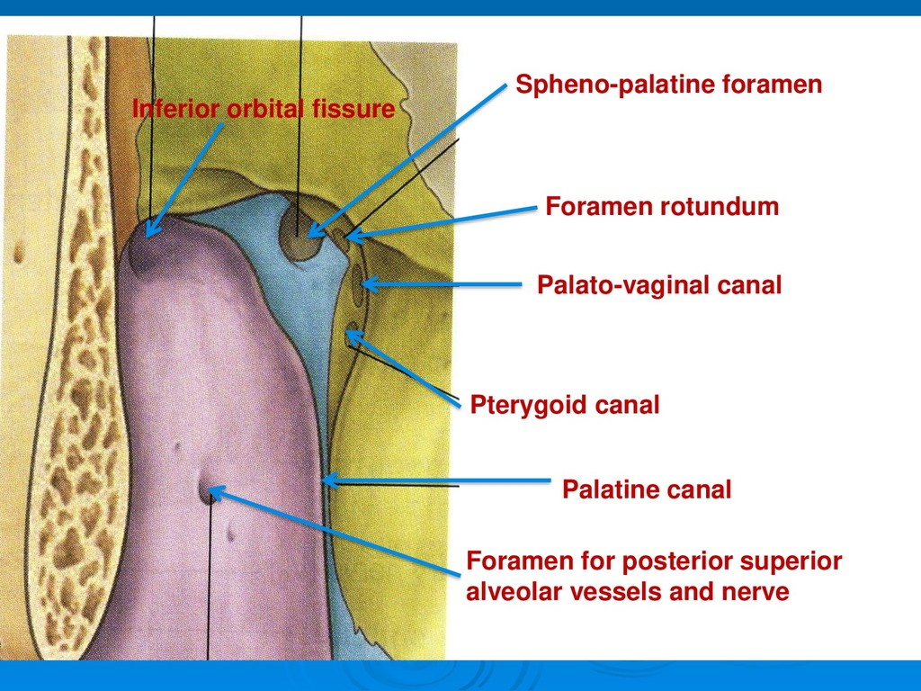 Spheno-palatine foramen Palato-vaginal canal Fo...