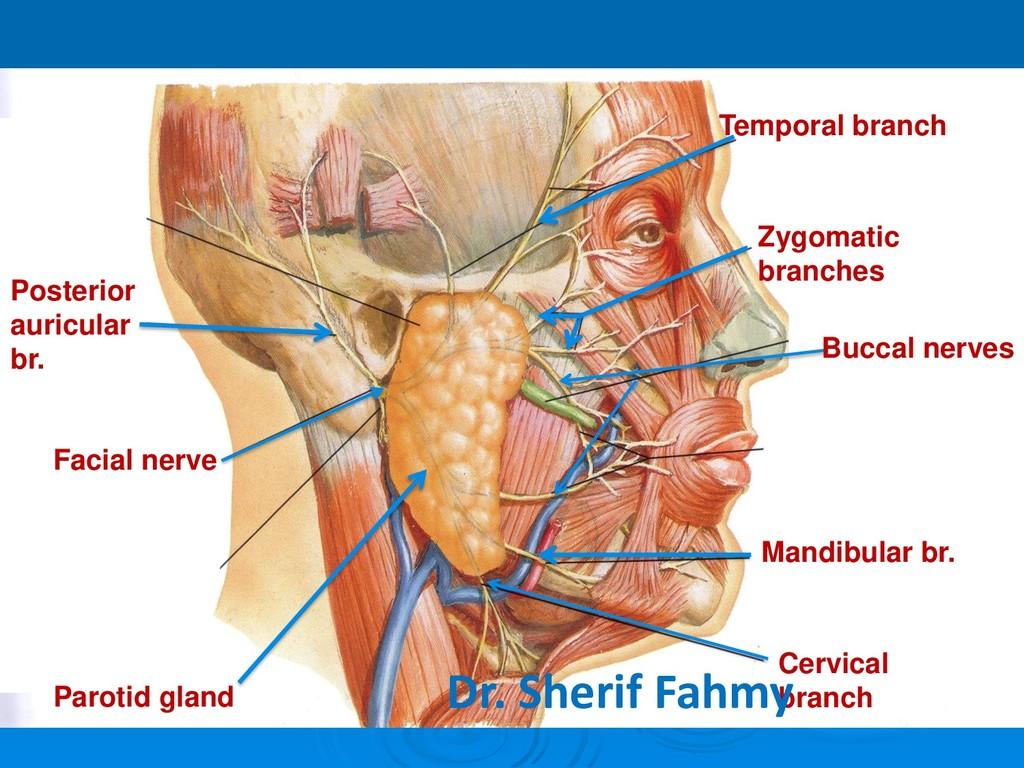 Parotid gland Facial nerve Posterior auricular ...