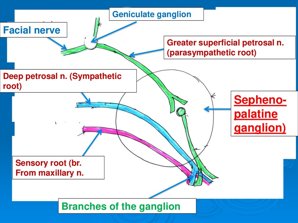 Facial nerve Geniculate ganglion Greater superf...