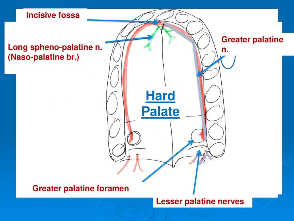 Lesser palatine nerves Greater palatine foramen...