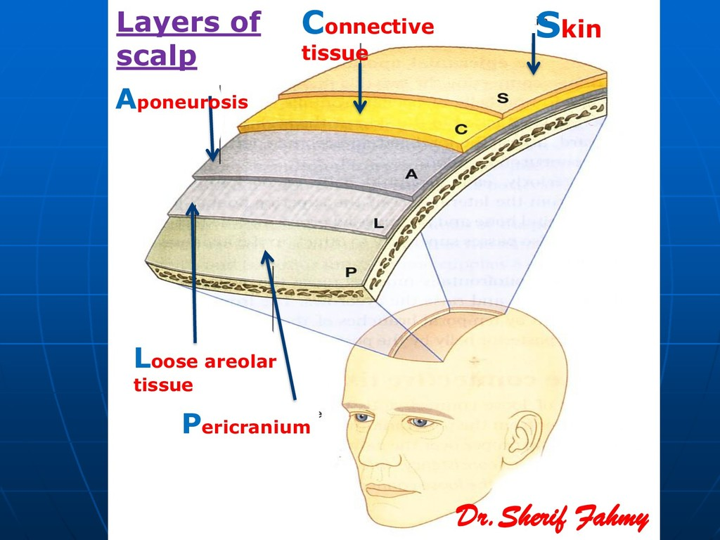 Skin Connective tissue Aponeurosis Loose areola...