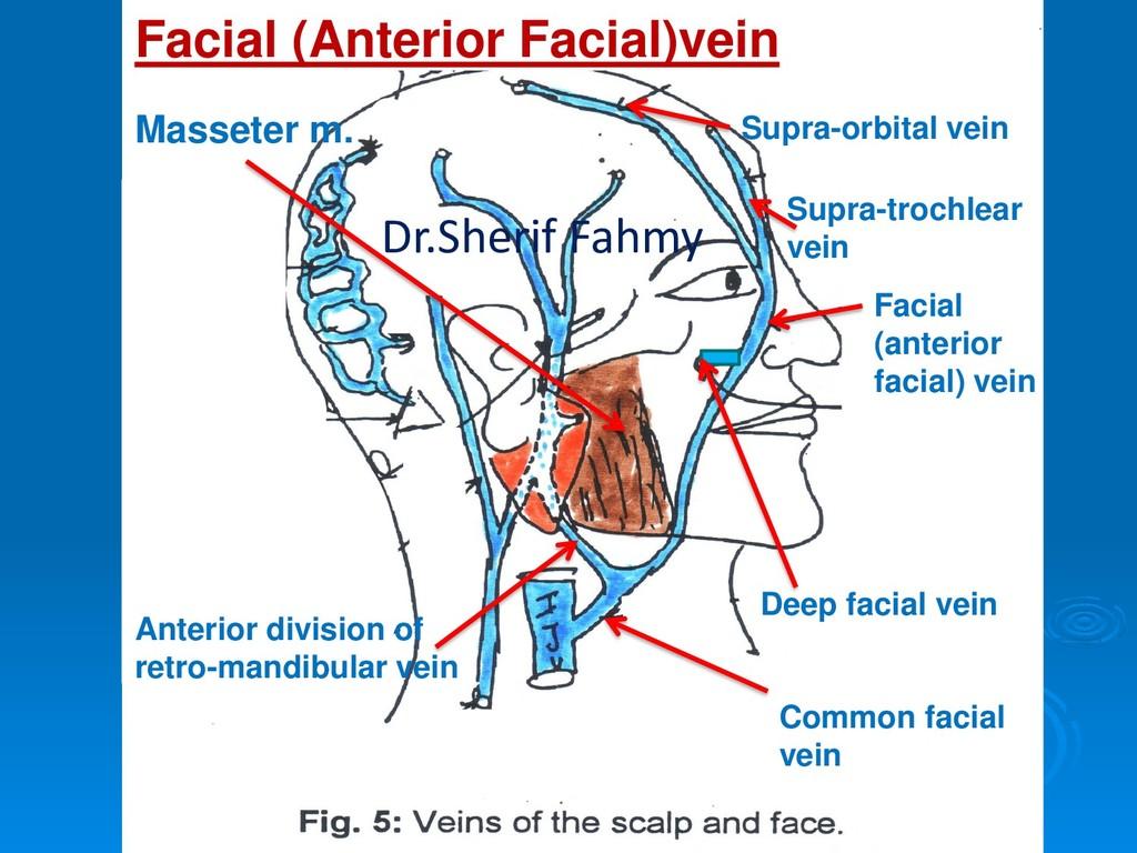 Supra-trochlear vein Supra-orbital vein Facial ...