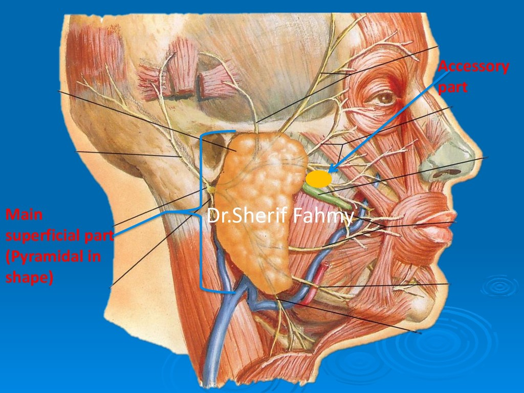 Main superficial part (Pyramidal in shape) Acce...