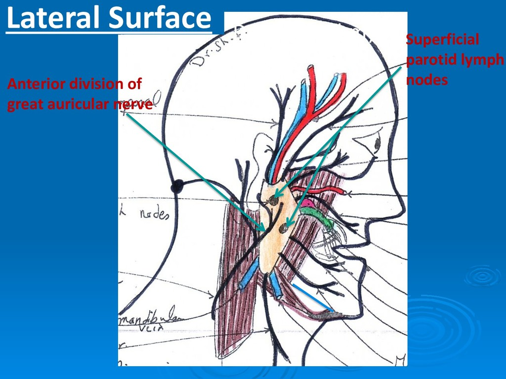 Lateral Surface Anterior division of great auri...