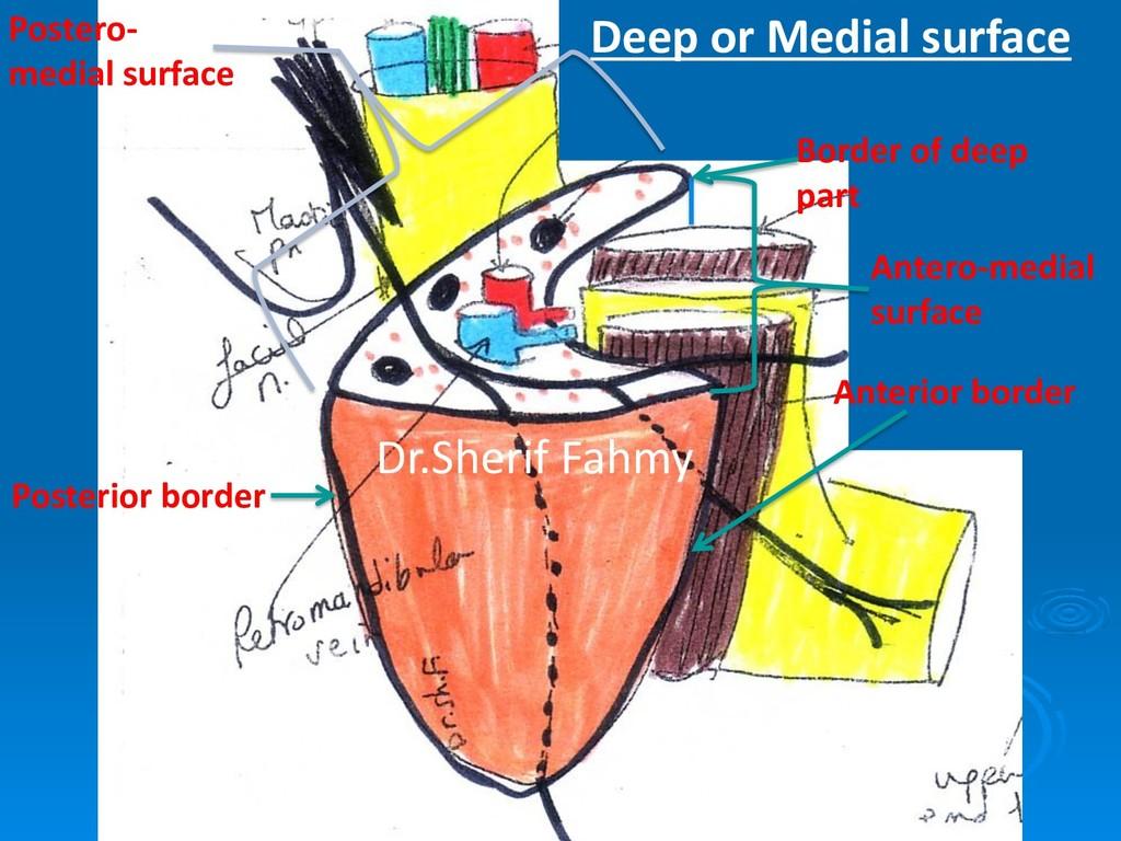 Deep or Medial surface Anterior border Posterio...