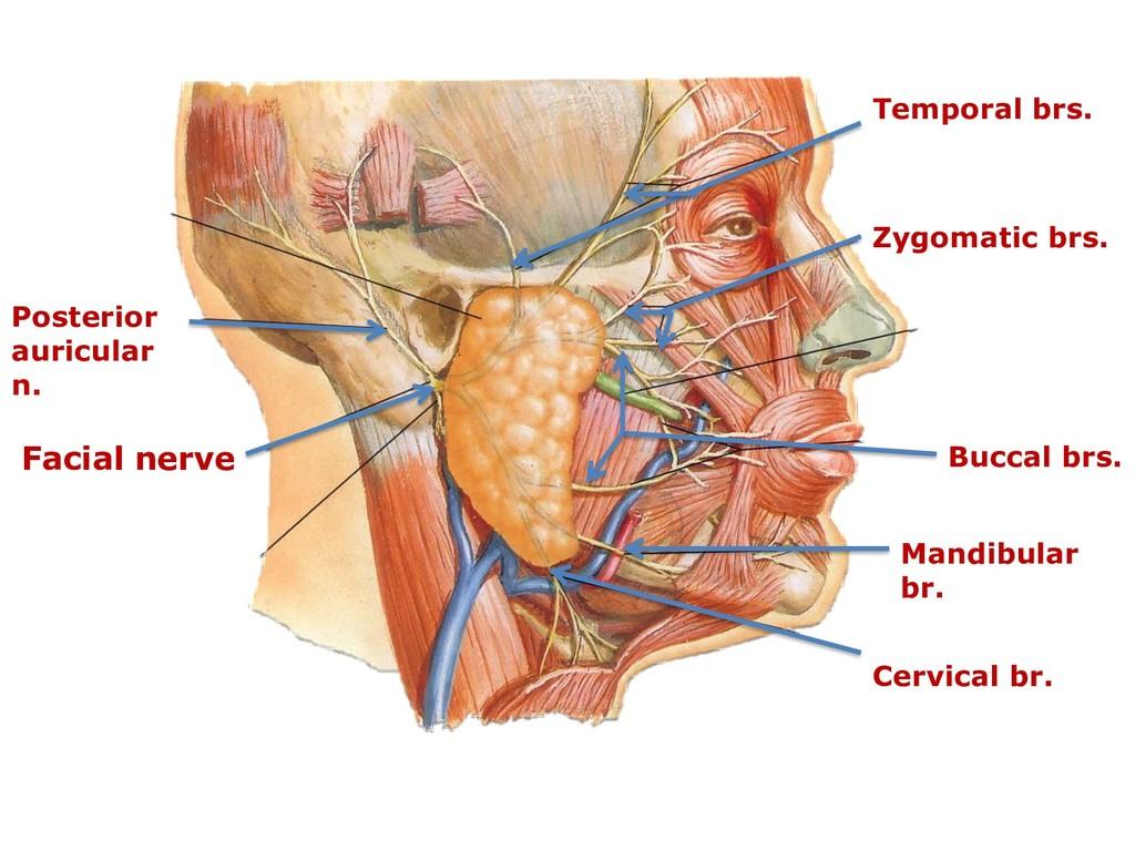 Facial nerve Posterior auricular n. Temporal br...