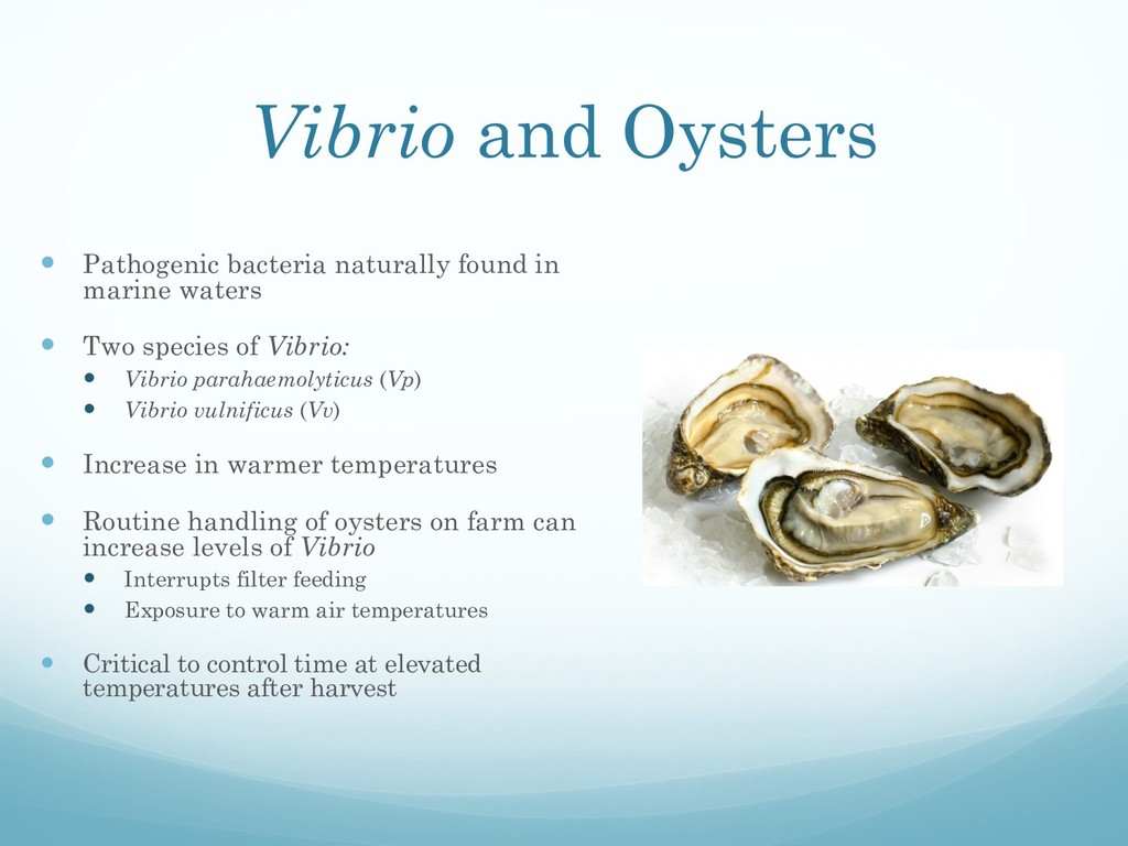 Vibrio and Oysters — Pathogenic bacteria natura...