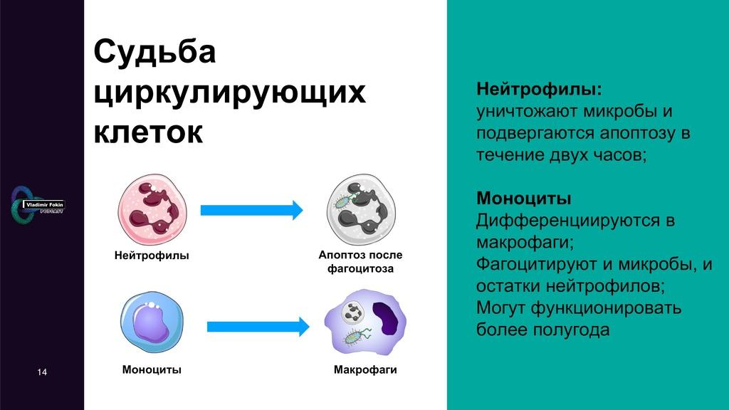 Судьба циркулирующих клеток Нейтрофилы: уничтож...