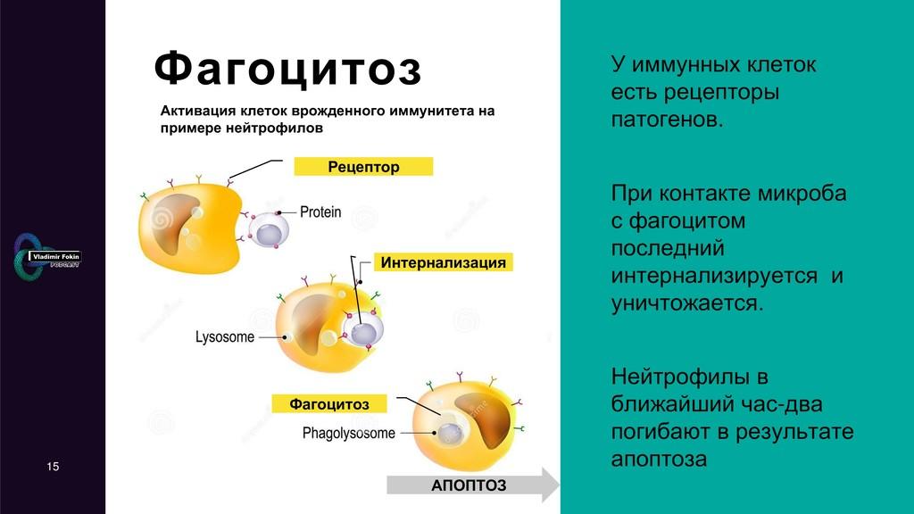 15 Активация клеток врожденного иммунитета на п...