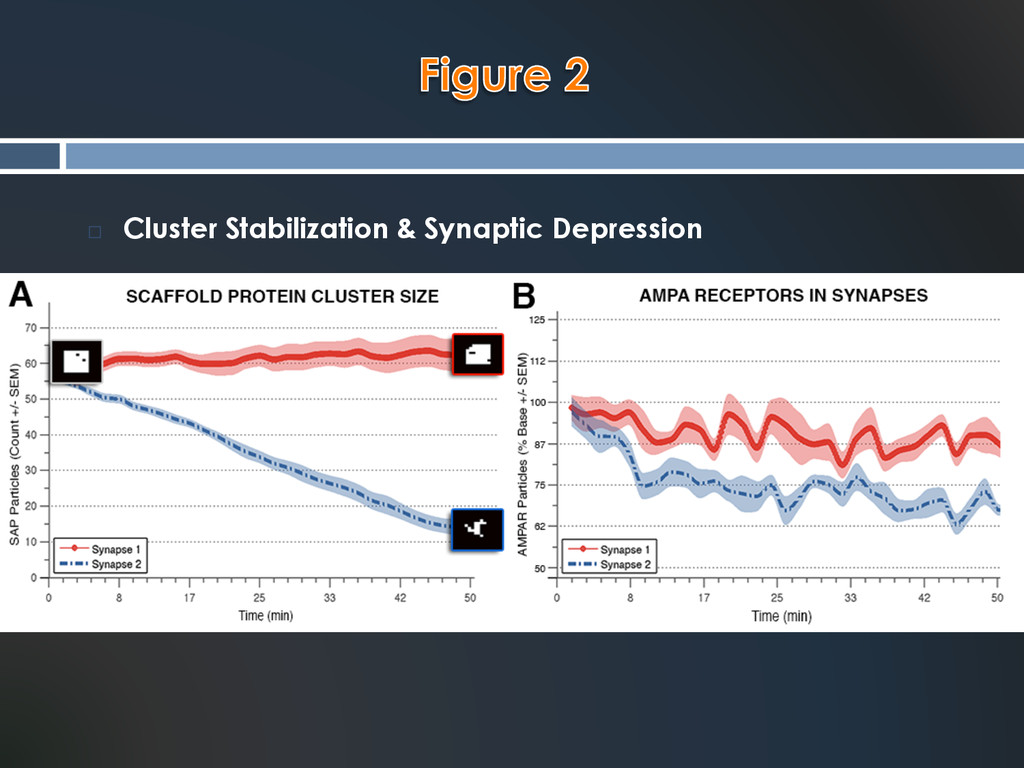 ¨  Cluster Stabilization & Synaptic Depression
