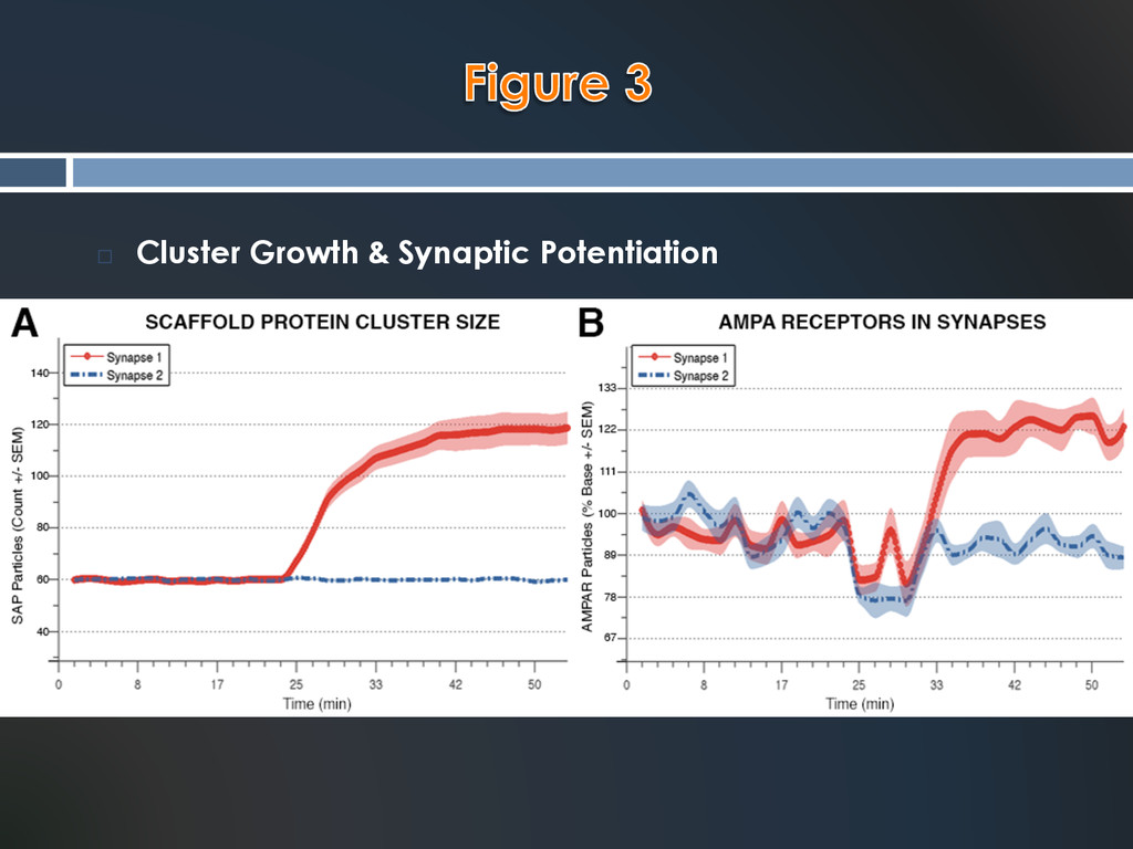 ¨  Cluster Growth & Synaptic Potentiation