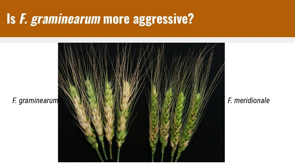 Is F. graminearum more aggressive? F. graminear...