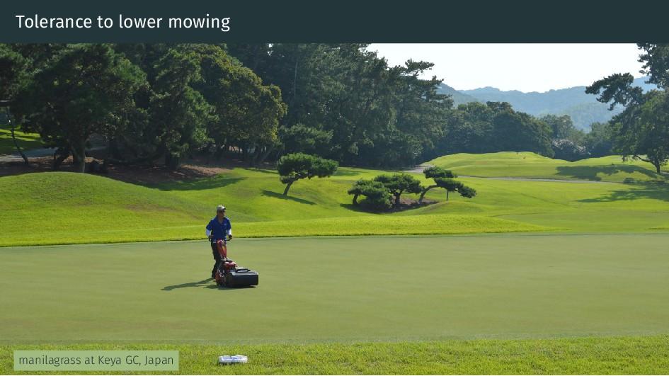 Tolerance to lower mowing manilagrass at Keya G...