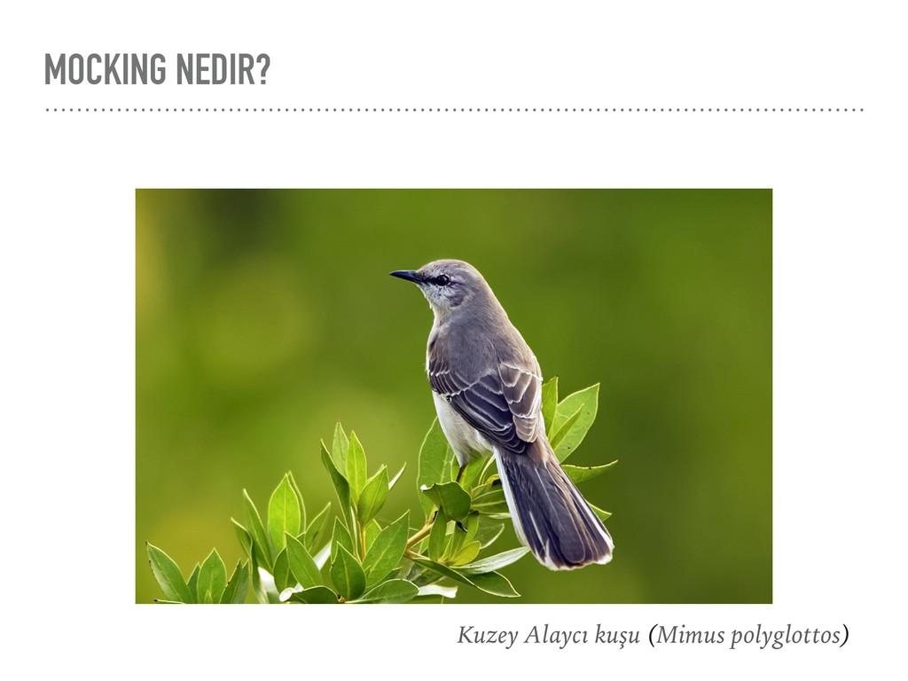 MOCKING NEDIR? Kuzey Alaycı kuşu (Mimus polyglo...