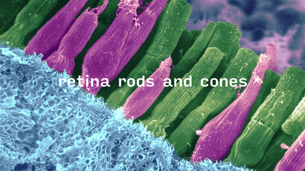 retina rods and cones