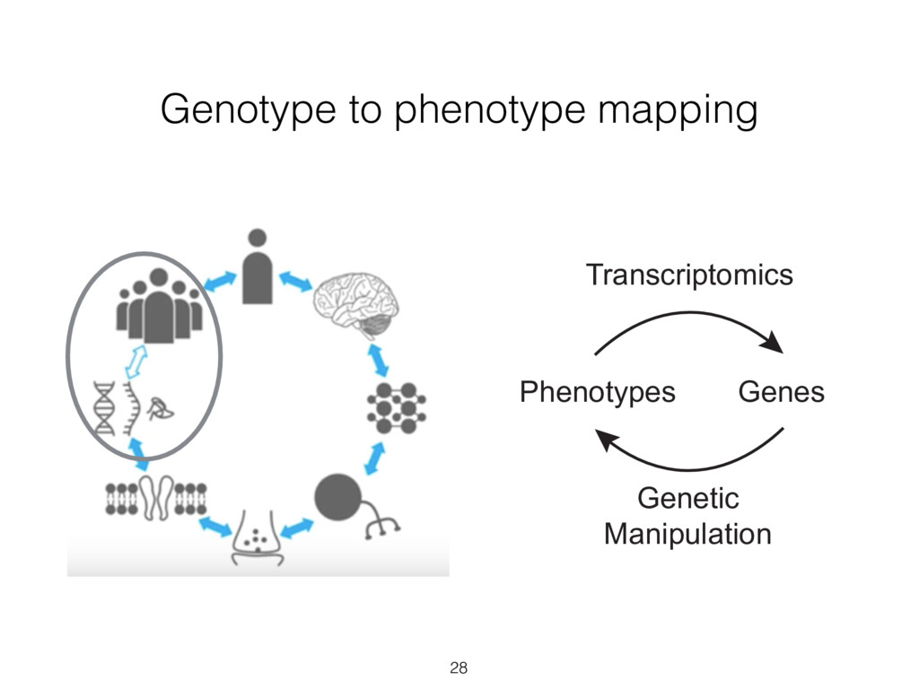 Genotype to phenotype mapping 28 Phenotypes Tra...