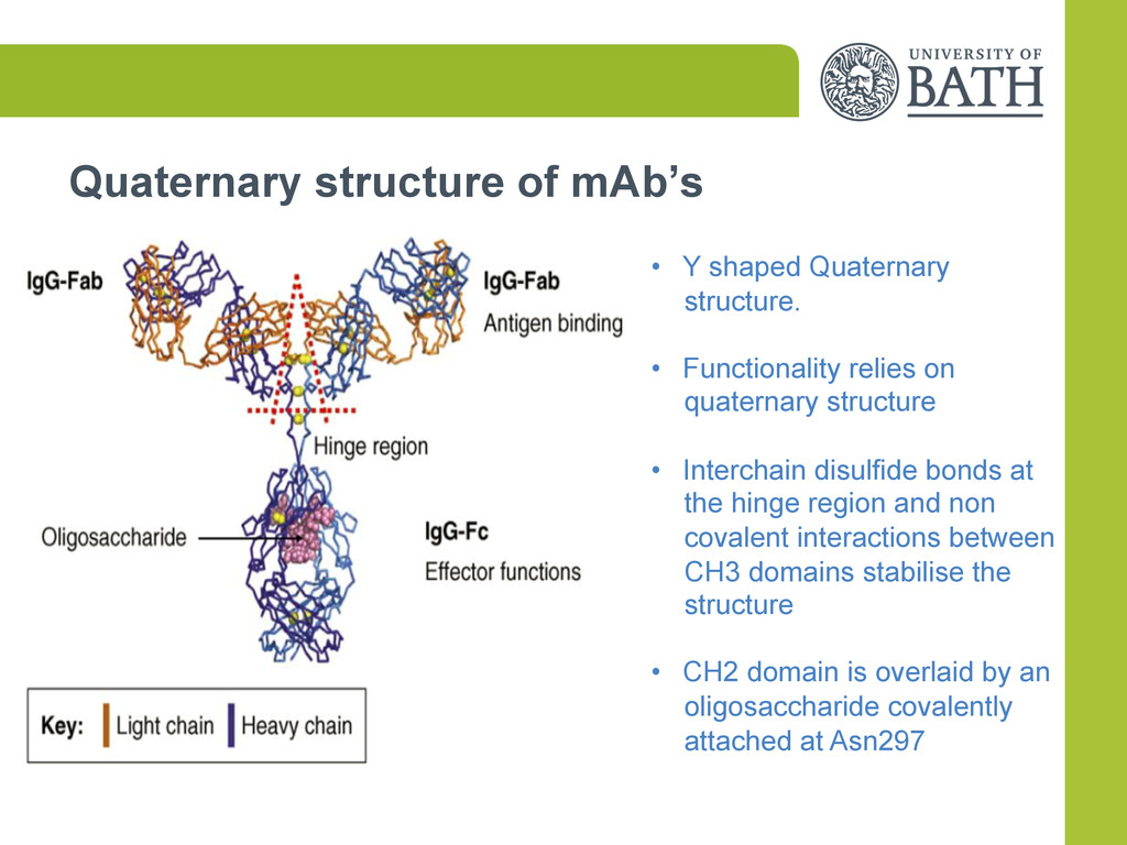Quaternary structure of mAb's •  Y shaped Quate...