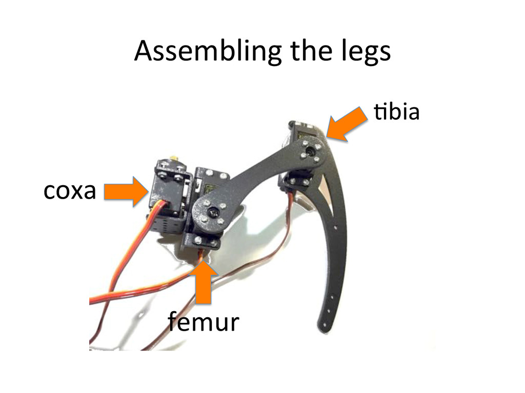 Assembling)the)legs) Cbia) coxa) femur)