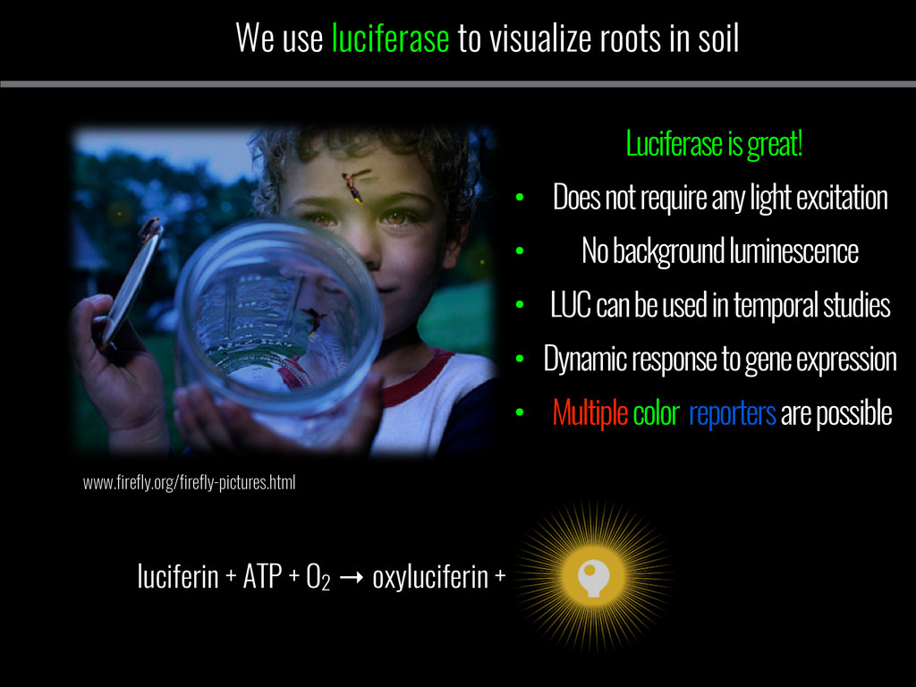 We use luciferase to visualize roots in soil ww...