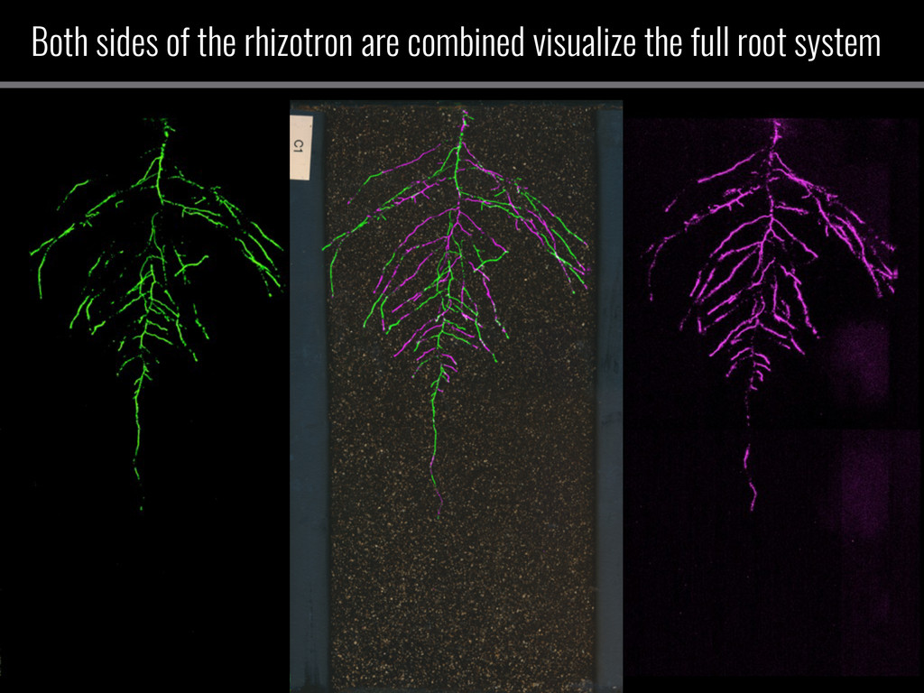 Both sides of the rhizotron are combined visual...