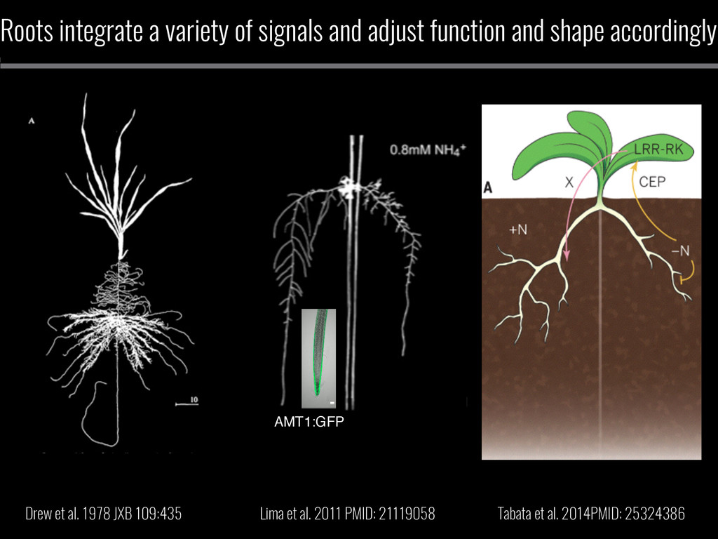 Roots integrate a variety of signals and adjust...