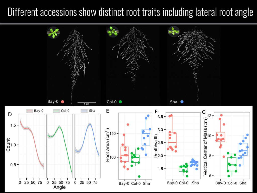Different accessions show distinct root traits ...