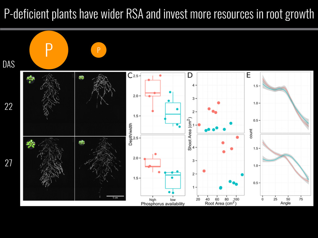 P-deficient plants have wider RSA and invest mo...