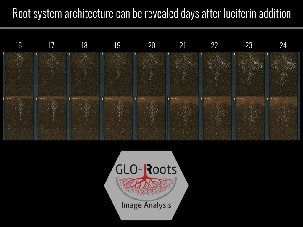 Root system architecture can be revealed days a...