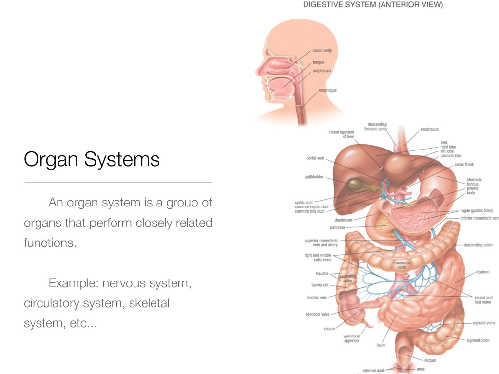 Organ Systems An organ system is a group of org...