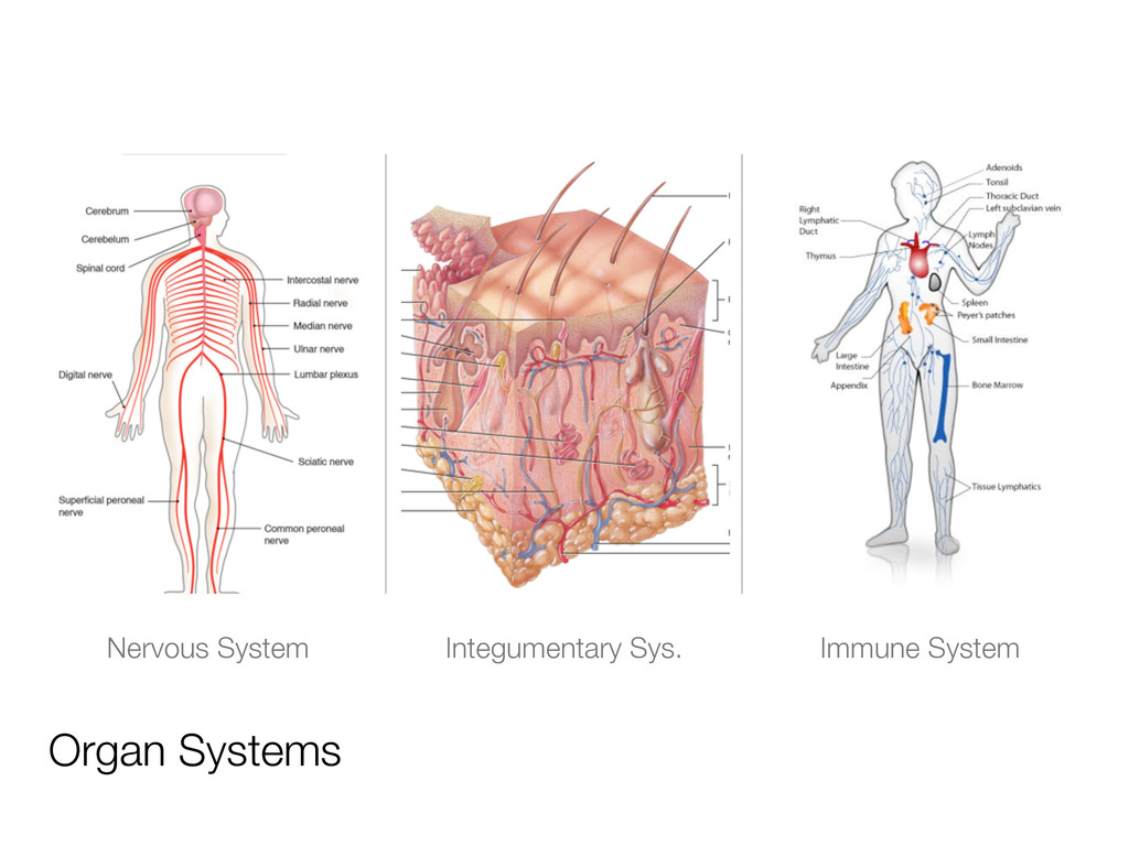 Organ Systems Nervous System Integumentary Sys....