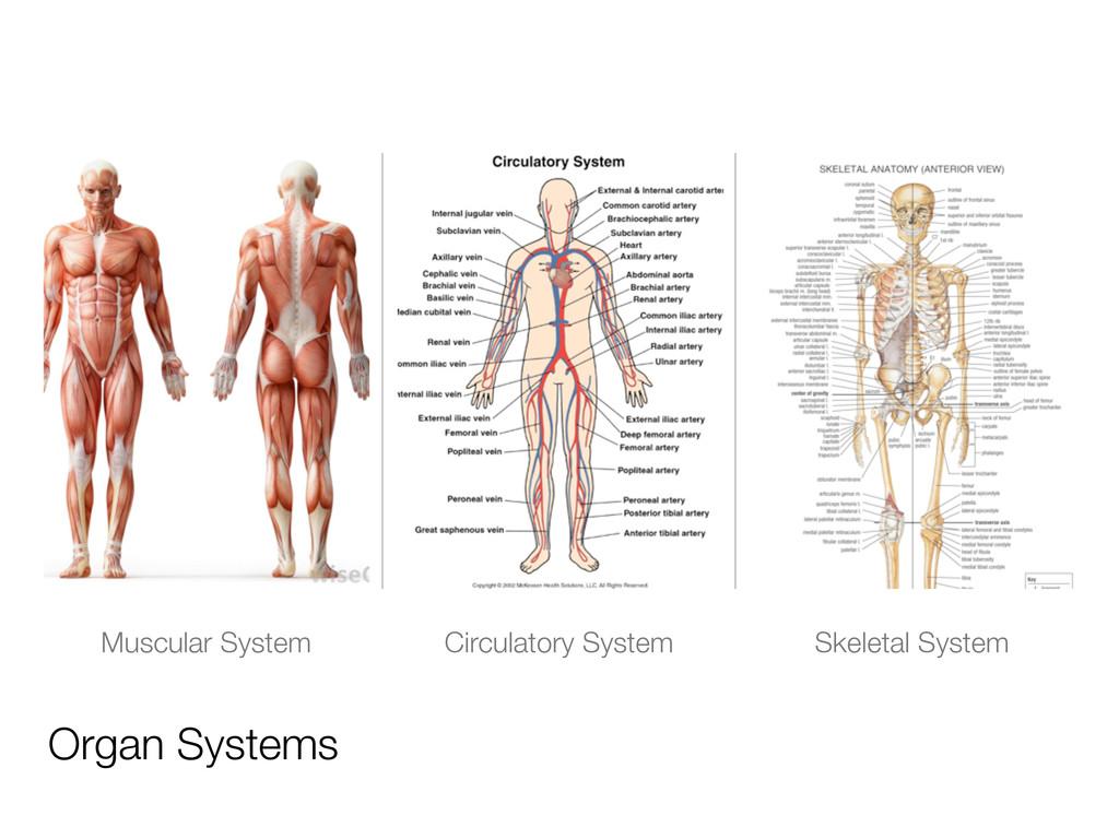 Organ Systems Muscular System Circulatory Syste...