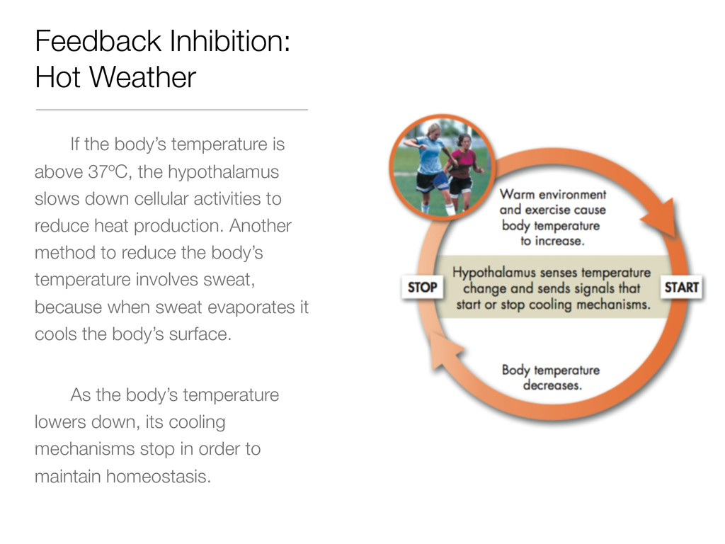 Feedback Inhibition: Hot Weather If the body's ...