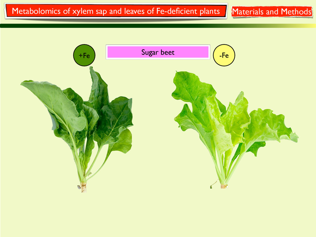 +Fe -Fe Sugar beet Metabolomics of xylem sap an...
