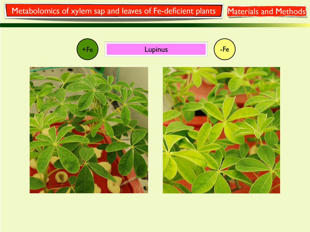 +Fe -Fe Lupinus Metabolomics of xylem sap and l...