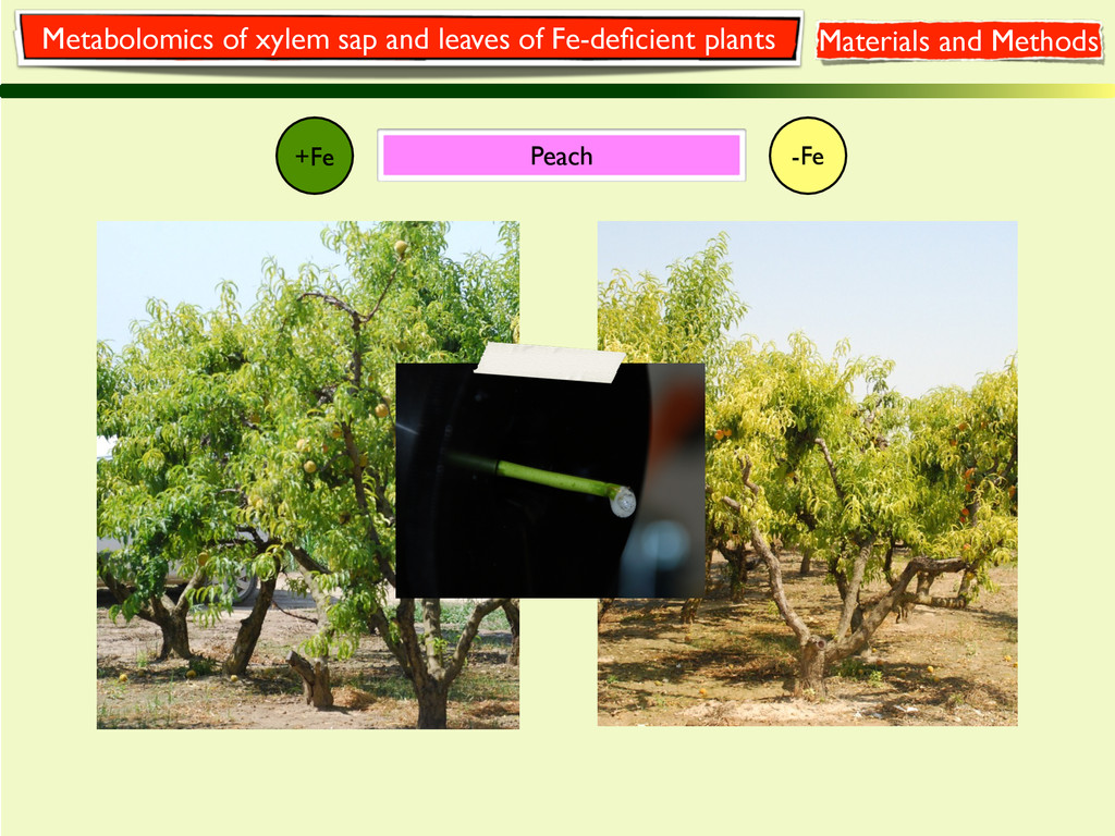 +Fe -Fe Peach Metabolomics of xylem sap and lea...