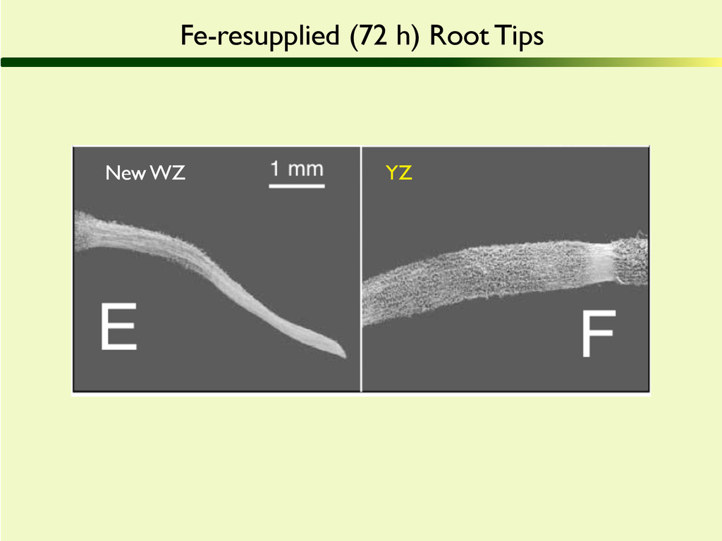 Fe-resupplied (72 h) Root Tips YZ New WZ