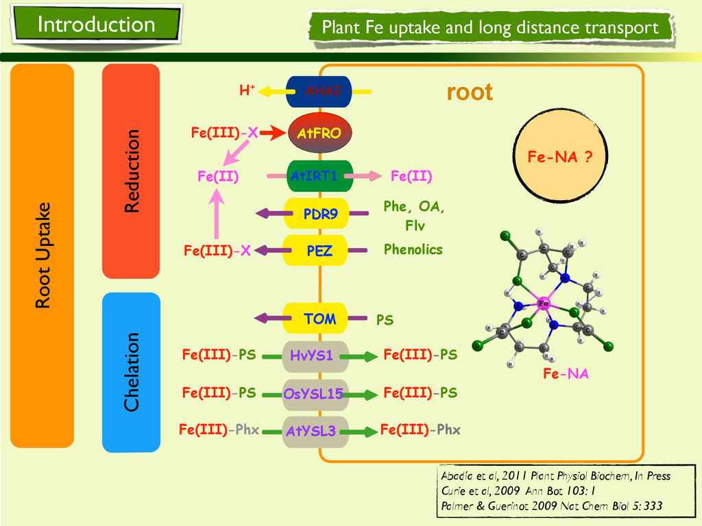 root Fe-NA ? Plant Fe uptake and long distance ...