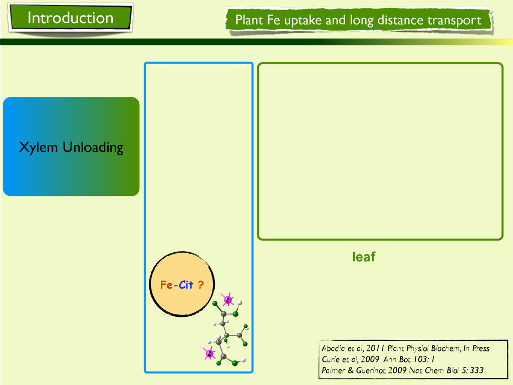 Fe-Cit ? leaf Plant Fe uptake and long distance...