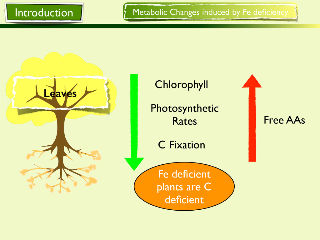 Photosynthetic Rates C Fixation Chlorophyll Met...
