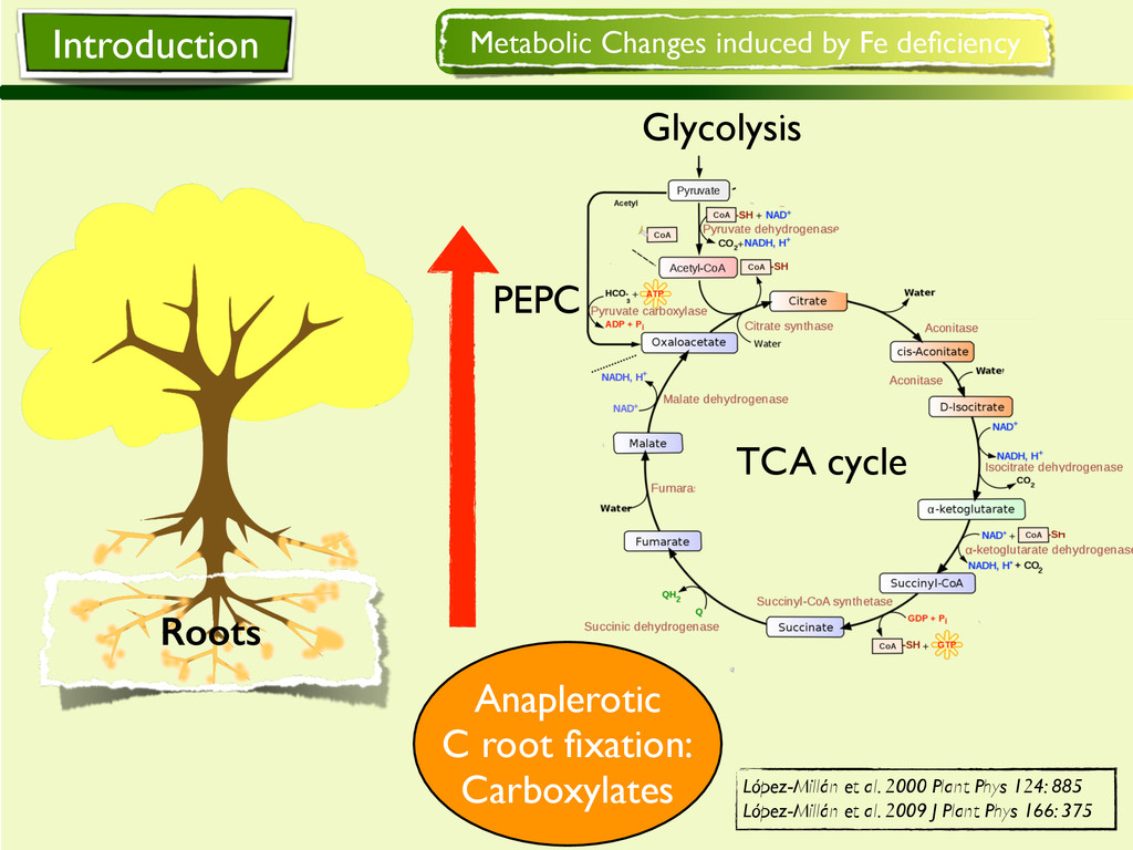Metabolic Changes induced by Fe deficiency Glyco...