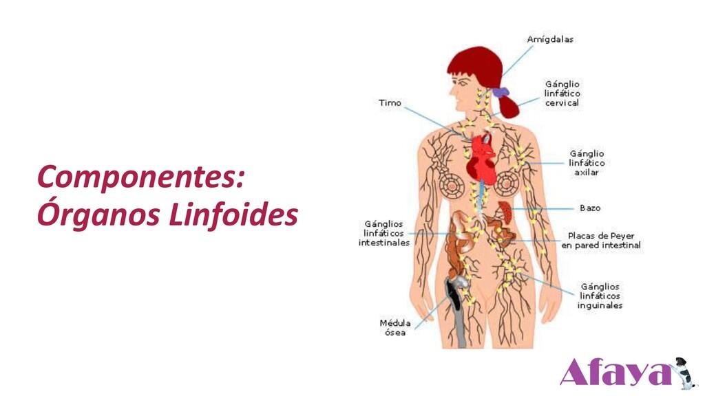 Componentes: Órganos Linfoides
