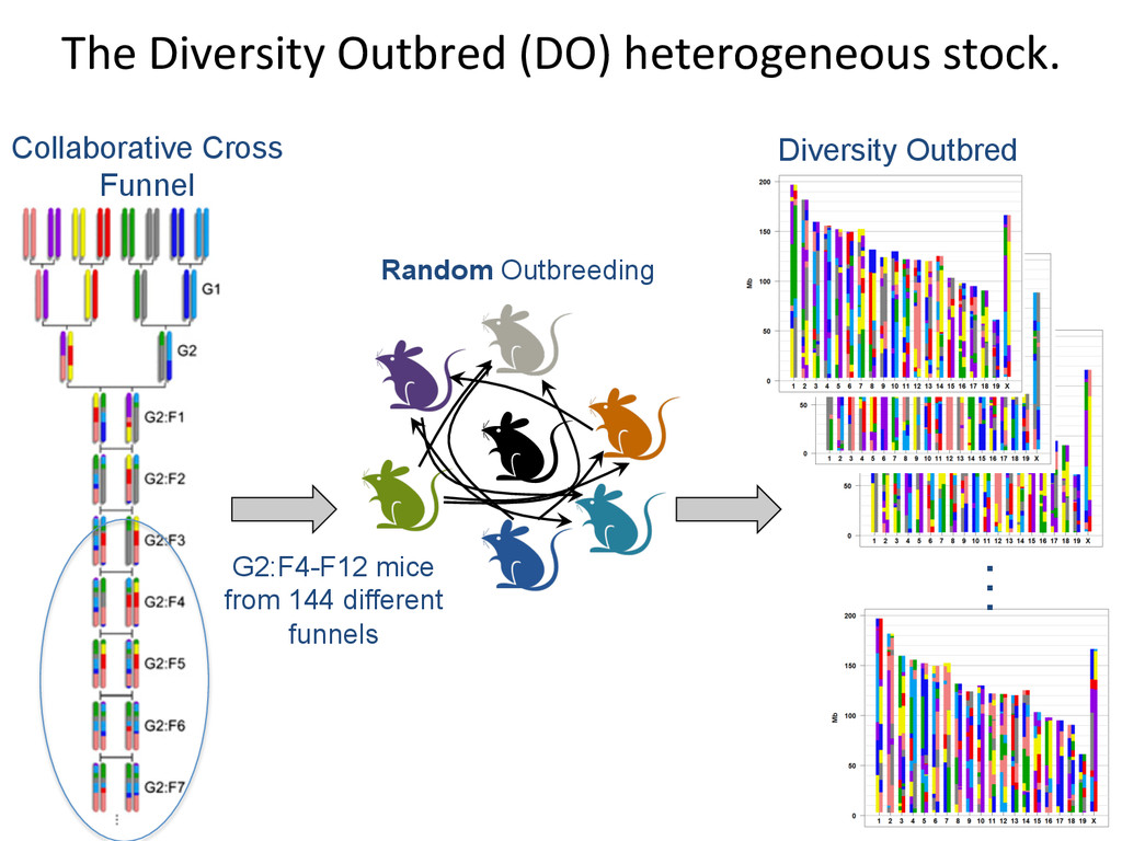 The Diversity Outbred (DO) heteroge...