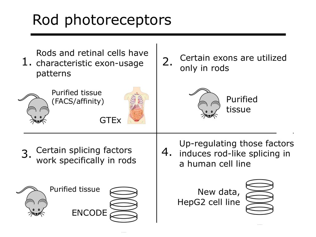Rod photoreceptors Rods and retinal cells have ...
