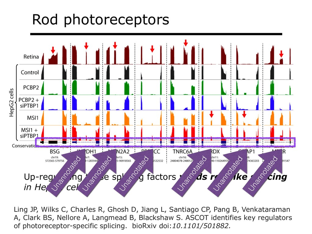 Rod photoreceptors Up-regulating those splicing...