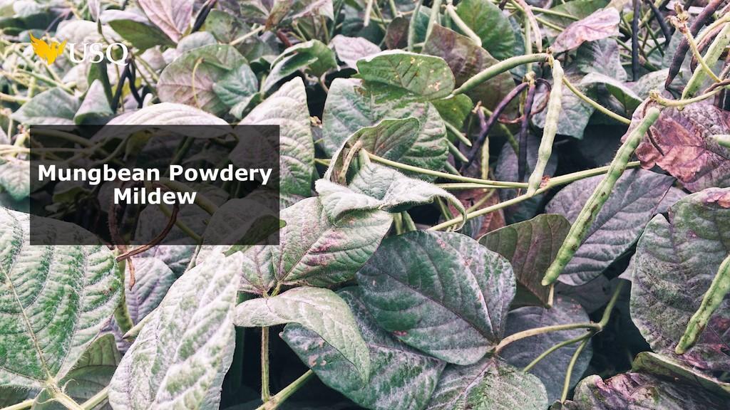 Mungbean Powdery Mildew
