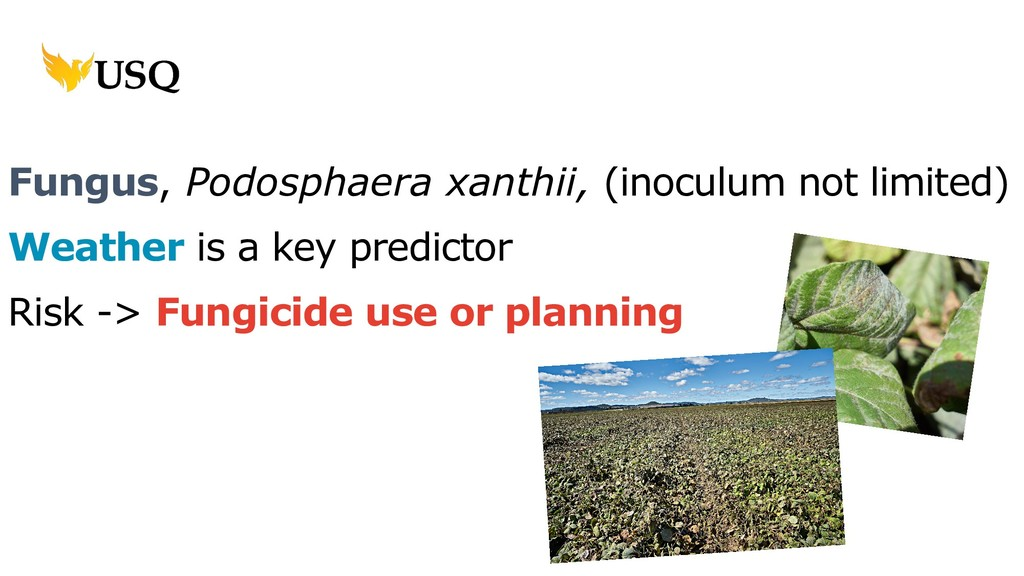 Fungus, Podosphaera xanthii, (inoculum not limi...